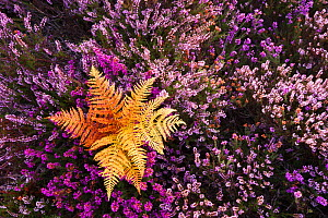 Bracken, flowering Bell Heather (Erica cinerea) and Ling (Calluna vulgaris). Rockford Common, Linwood, New Forest National Park, Hampshire, England, UK - Guy Edwardes / 2020VISION
