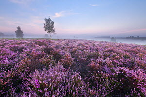 View over New Forest Ling (Calluna vulgaris) and Bell Heather (Erica cinerea) at Rockford Common in dawn mist. Linwood, New Forest National Park, Hampshire, England, UK, August. - Guy Edwardes / 2020VISION