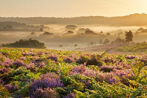 View over New Forest heathland with Ling (Calluna vulgaris) and Bell Heather (Erica cinerea). Fritham Cross at dawn, New Forest National Park, Hampshire, England, UK, August. - Guy Edwardes / 2020VISION