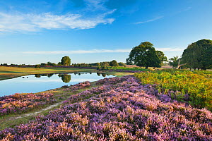 View over New Forest heathland with Ling (Calluna vulgaris), Bell Heather (Erica cinerea) and pool. Fritham Cross, New Forest National Park, Hampshire, England, UK, August. - Guy Edwardes / 2020VISION