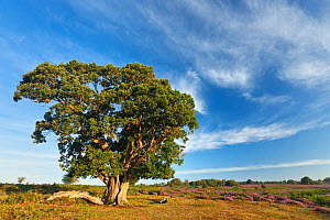 View over New Forest heathland with Oak (Quercus robur) tree. Fritham Cross, New Forest National Park, Hampshire, England, UK, August. Did you know? The New Forest has the most extensive area of heath... - Guy Edwardes / 2020VISION