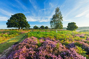 View over New Forest heathland Ling (Calluna vulgaris) and Bell Heather (Erica cinerea). Fritham Cross, New Forest National Park, Hampshire, England, UK, August. - Guy Edwardes / 2020VISION