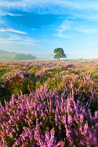 View over New Forest heathland with Ling (Calluna vulgaris) and Bell Heather (Erica cinerea). Mogshade Hill, New Forest National Park, Hampshire, England, UK, August. - Guy Edwardes / 2020VISION