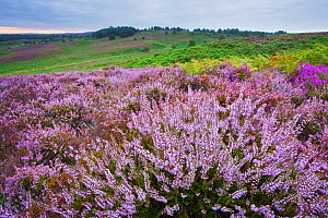View over New Forest heathland Ling (Erica cinerea) and Bell Heather (Erica cinerea). Vereley Hill, Burley, New Forest National Park, Hampshire, England, UK, August. - Guy Edwardes / 2020VISION