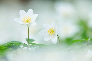 Wood Anemone (Anemone nemorosa) in flower. Powerstock Common Nature Reserve, Dorset, England, UK, April. Did  you know? The wood anenome was named after the Greek god Anemos.  -  Guy Edwardes / 2020VISION
