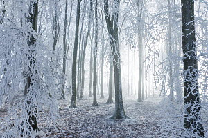 Beech (Fagus sylvatica) woodland in hoar frost and winter mist. West Woods, Compton Abbas, Dorset, England, UK, December. - Guy Edwardes / 2020VISION