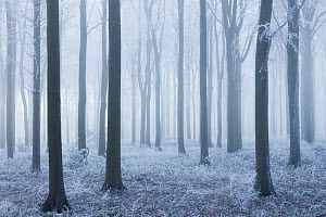 Beech (Fagus sylvatica) woodland in mist and frost. West Woods, Compton Abbas, Dorset, England, UK, December. - Guy Edwardes / 2020VISION