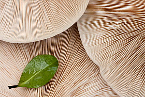 Gills of Fleecy Milkcap (Lactarius vellereus). Bolderwood, New Forest National Park, Hampshire, England, UK, November.  -  Guy Edwardes / 2020VISION