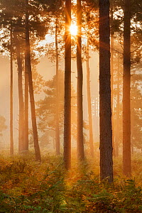 Sunrise in coniferous woodland. Gore Heath, Dorset, England, UK, September. - Guy Edwardes / 2020VISION
