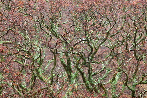 Lichen covered tree branches. New Forest National Park, Hampshire, England, UK, March. - Guy Edwardes / 2020VISION