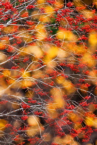 Rowan Tree (Sorbus aucuparia) covered in berries seen through autumn leaves. Dartmoor National Park, Devon, England, UK, October. - Guy Edwardes / 2020VISION