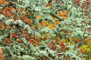 Lichen covered branches in canopy of Oak woodland. Perthshire, Scotland, UK. - Guy Edwardes / 2020VISION