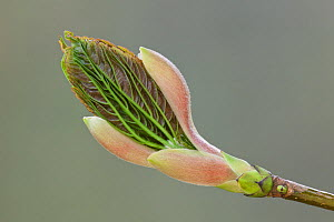 Sycamore (Acer pseudoplatanas) leaf unfurling in spring. New Forest, Hampshire, England, UK, March. Did you know? The sycamore tree was introduced to Britain in the 15th or 16th century.  -  Guy Edwardes / 2020VISION