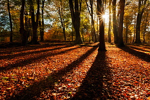 Sunrise through deciduous woodland with beech trees casting long shadows. Bolderwood, New Forest National Park, Hampshire, England, UK, October. Did you know? There are 20 million visitors to the New...  -  Guy Edwardes / 2020VISION