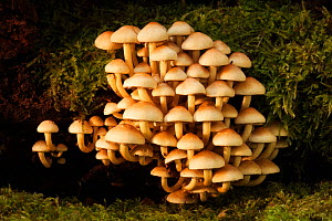Sulphur Tuft (Hypholoma fasciculare) cluster. Bolderwood, New Forest National Park, Hampshire, England, UK, October. - Guy Edwardes / 2020VISION