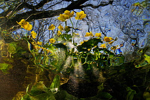 Marsh Marigold (Caltha palustris), on bank of River Itchen, seen below rippled surface. Ovington, Hampshire, England, May. Did you know? The Marsh marigold is one of the UK's most ancient native plant...  -  Linda Pitkin / 2020VISION