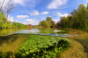 Split level view of the River Itchen, with aquatic plants: Blunt-fruited Water-starwort (Callitriche obtusangula). Itchen Stoke Mill is visible on the left.  Ovington, Hampshire, England, May.  -  Linda Pitkin / 2020VISION