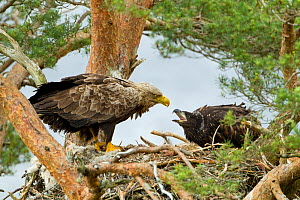 White-tailed Eagle (Haliaeetus albicilla) adult interacting with chick at nest. Wester Ross, Scotland, June.  -  Mark Hamblin / 2020VISION