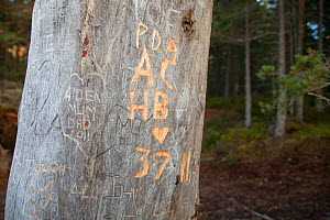 Names carved in dead pine tree. Abernethy Forest NNR, Cairngorms National Park, Scotland, UK, September 2011.  -  Mark Hamblin / 2020VISION