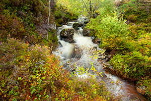 Stream running through wooded gorge. Abernethy NNR, Cairngorms National Park, Scotland, UK, September 2011. Did you know? Abernethy Forest is the largest  remnant of the Ancient Caledonian Forest  in... - Mark Hamblin / 2020VISION