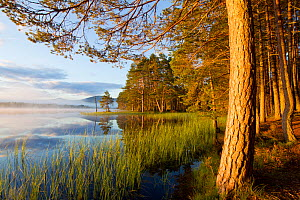 Loch Garten and Abernethy Forest. Cairngorms National Park, Scotland, UK, September 2011. Did you know? The human population in the Cairngorms is very sparse � just 4.2 people per square kilometre. - Mark Hamblin / 2020VISION