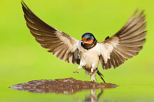 Barn Swallow (Hirundo rustica) alighting at pool to collect mud for nest building. Inverness-shire, Scotland, June .Did you know? Due to the distances that Swallows travel, it was traditional for sail... - Mark Hamblin / 2020VISION