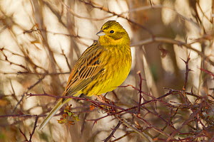 Yellowhammer (Emberiza citrinella) male perched. Scotland, UK, December. Did you know? Some local names for Yellowhammers include 'scribbler' and 'writing lark' referring to the dark squiggly lines on... - Mark Hamblin / 2020VISION