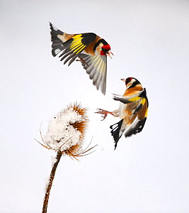Goldfinches (Carduelis carduelis) squabbling over teasel seeds in winter. Hope Farm RSPB reserve, Cambridgeshire, England, UK, February. Crop of 01390677  -  Mark Hamblin / 2020VISION
