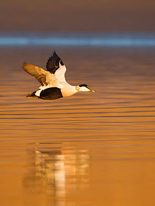 Eider (Somateria mollissima) male in flight in evening light. Aberdeenshire, Scotland, UK, March.  -  Mark Hamblin / 2020VISION
