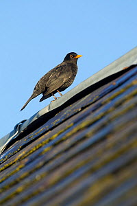 Male Blackbird (Turdus merula) perched on old barn roof, Inverness-shire, Scotland, UK, November - Mark Hamblin / 2020VISION