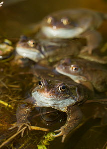 Common frogs (Rana temporaria) spawning in garden pond, Warwickshire, England, UK, March  -  Mark Hamblin / 2020VISION