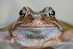 Common frog (Rana temporaria) in garden pond, Warwickshire, England, UK, March - Mark Hamblin / 2020VISION