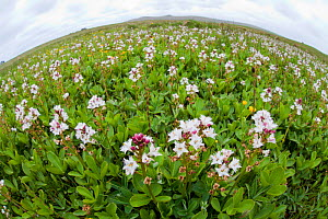 Wide-angle perspective of Bogbean / Buckbean (Menyanthes trifoliata) in flower. Shetland, UK, June.  -  Mark Hamblin / 2020VISION