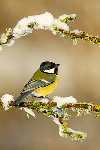 Great tit (Parus major) perched on branch in snow, Scotland, UK, December  -  Mark Hamblin / 2020VISION