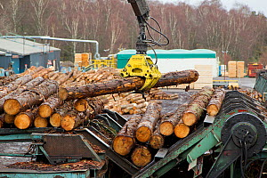 Processing spruce trunks in BSW sawmill, Boat of Garten, Inverness-shire, Scotland, UK, February 2012.  -  Mark Hamblin / 2020VISION