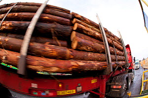 Timber stacked onto lorry at BSW sawmill, Boat of Garten, Inverness-shire, Scotland, UK, February 2012.  -  Mark Hamblin / 2020VISION