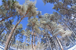 Forest of scots pine after heavy snowfall, Cairngorms National Park, Scotland, March 2012. Did you know? Like many orchids, Scots pine trees have a symbiotic relationship with fungi - while the tree p... - Peter Cairns / 2020VISION