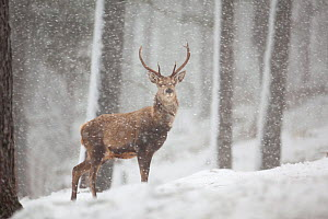 Red deer (Cervus elaphus) in heavy snowfall, Cairngorms National Park, Scotland, March 2012. - Peter Cairns / 2020VISION