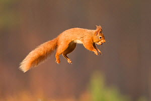 Red squirrel (Sciurus vulgaris) jumping, Cairngorms National Park, Scotland, March 2012. Did you know? As well as being excellent jumpers, red squirrels can also swim. - Peter Cairns / 2020VISION