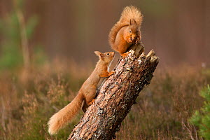 Red squirrel (Sciurus vulgaris) approaching another as it eats a nut, Cairngorms National Park, Scotland, March 2012. - Peter Cairns / 2020VISION