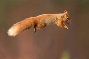 Red squirrel (Sciurus vulgaris) jumping with nut in mouth, Cairngorms National Park, Scotland, March 2012. - Peter Cairns / 2020VISION