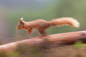 Red squirrel (Sciurus vulgaris) running along scots pine tree, Scotland, March 2012.  -  Peter Cairns / 2020VISION