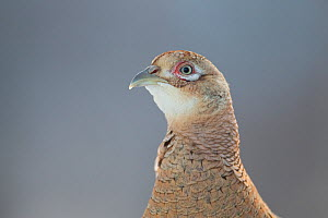 Female Pheasant (Phasianus colchicus) portrait Cairngorms National Park, Scotland, April.  -  Peter Cairns / 2020VISION