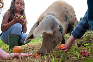 Children feeding windfall apples to Domestic pig, Old Sleningford Community Farm, North Yorkshire, England, UK, September 2011. Model released. Did you know? Pigs were domesticated around 13,000 BC. - Paul Harris / 2020VISION