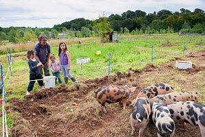 Woman and three children watching Domestic pigs  feeding on windfall apples, Old Sleningford Community Farm, North Yorkshire, England, UK, August 2011. - Paul Harris / 2020VISION