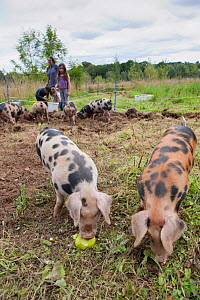 Woman and three children feeding windfall apples to Domestic pigs, Old Sleningford Community Farm, North Yorkshire, England, UK, August 2011. Model released. - Paul Harris / 2020VISION