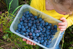 Child carrrying punnet of plums, Old Sleningford Community Farm, North Yorkshire, England, UK, October 2011.  -  Paul Harris / 2020VISION