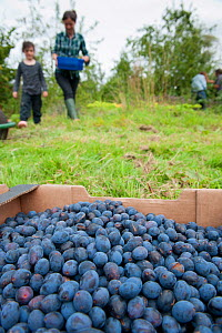Box of plums picked by volunteers, Old Sleningford Community Farm, North Yorkshire, England, UK, October 2011.  -  Paul Harris / 2020VISION