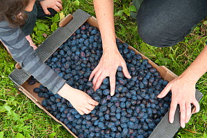 Box of plums picked by volunteers, Old Sleningford Community Farm, North Yorkshire, England, UK, September 2011.  -  Paul Harris / 2020VISION