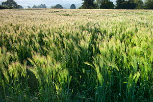 Barley field, Haregill Lodge Farm, Ellingstring, North Yorkshire, England, UK, June - Paul Harris / 2020VISION